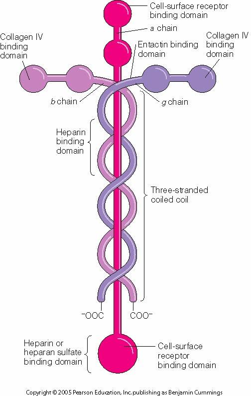 god can hear our prayers | under the cover of prayer  laminin molecule diagram #3